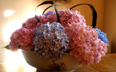 Introducing the Water Jug, otherwise known as Hydrangea