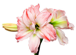 Pink and White Amaryllis flower