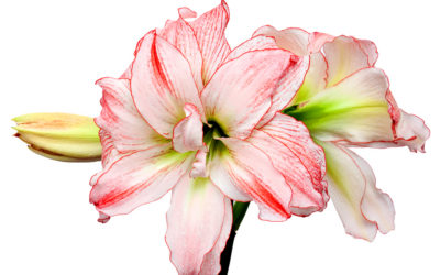 Knight Star..Naked Lady..Introducing Amaryllis