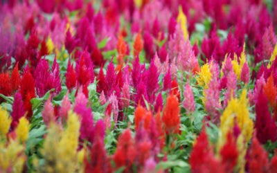 Flaming Celosia